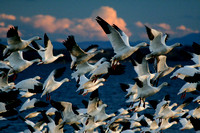 Snow geese at Pt au Roche State Park, NY